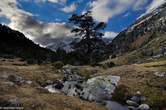 El pi de Peixerani, arbre monumental, vall de Peixerani.Parc Nacional d'Aigues Tortes i Estany de Sant Maurici.La Vall de Boi, Alta Ribagorca, Lleida