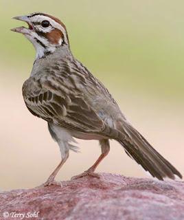 Suara burung lark sparrow