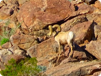 Peninsular bighorn sheep