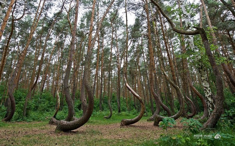 crooked-forest-3