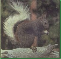 Kaibab-squirrel