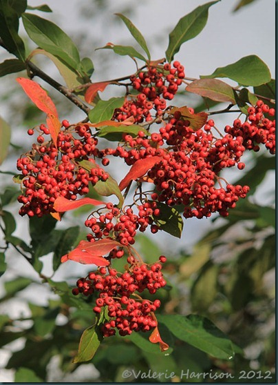 3-red-berries