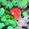 Red Bolete Mushroom