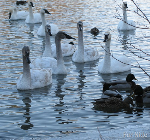 Swans and Ducks group