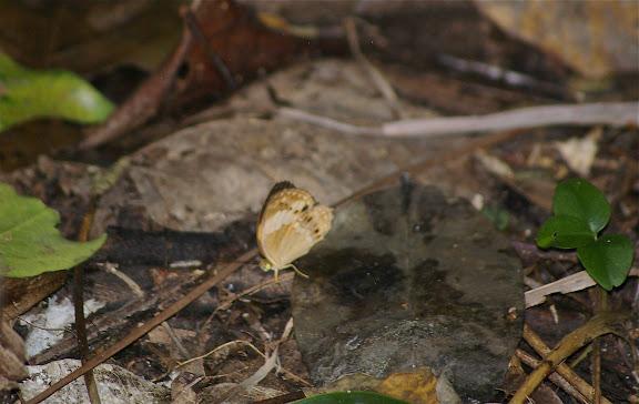 Cupha erymanthis nagara FRUHSTORFER, 1904. Pulau Mantanani (Sabah, Malaisie, Bornéo), 30 juillet 2011. Photo : J.-M. Gayman