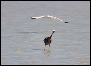 02d - Reddish Egret and Gull