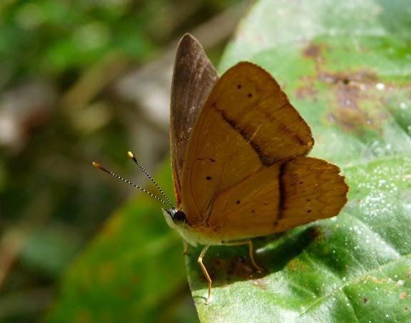 Biblidinae : Peria lamis CRAMER, 1779. RN2 près de la Rivière Comté (Guyane), 17 octobre 2011. Photo : C. Chazal