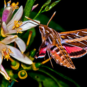 White-line sphinx moth feeding by David Winchester - Animals Insects & Spiders