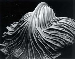 Edward Weston - cabbage 1931