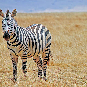Zebra by Jaliya Rasaputra - Animals Other Mammals (  )