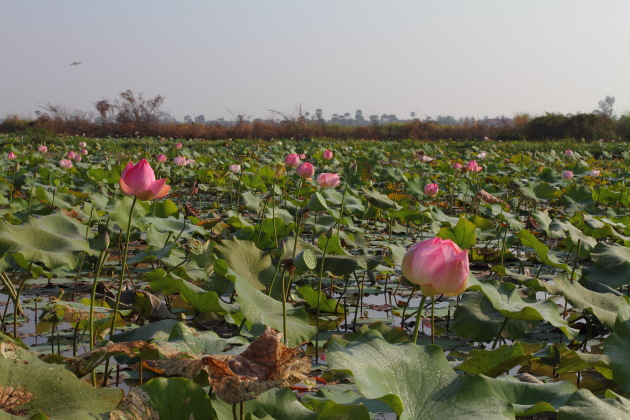 Lotus Flowers from a lotus farm near Tonle Sap, Cambodia