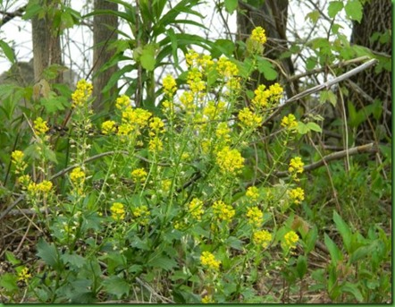 Winter Cress _ yellow rocket
