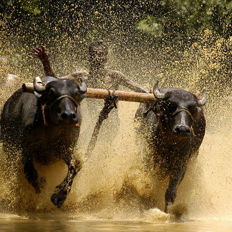 Maramadi: Bull Surfing in Kerala, India