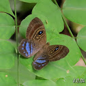 Riodinid Butterfly