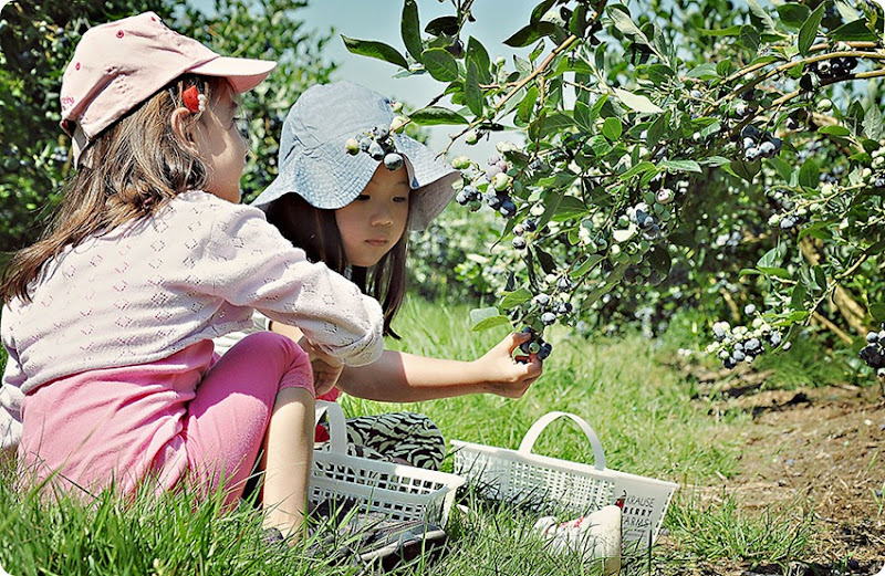 Berry-picking-(1)