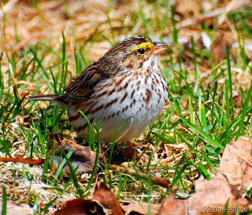 1. Savannah Sparrow-kab