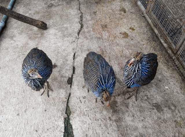 anakan ayam vulturine