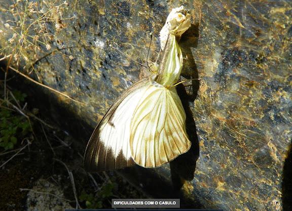 Ascia monuste orseis (GODART, 1819), femelle émergeant de son cocon. Pitangui (MG, Brésil), 8 septembre 2013. Photo : Nicodemos Rosa