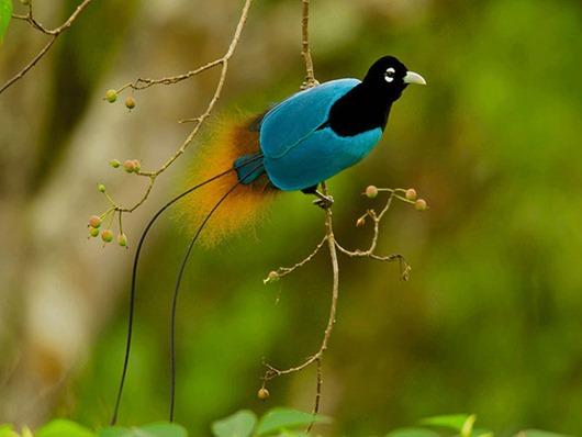 Тим Ламан: Тайны райских птиц clip_image017