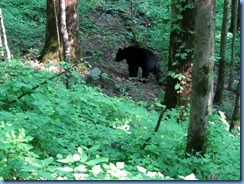0086 Great Smoky Mountain National Park  - Tennessee - Laurel Creek Road - Black Bear