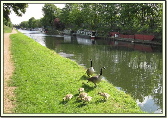 Canada Geese by the Bridgewater Canal near Brooklands