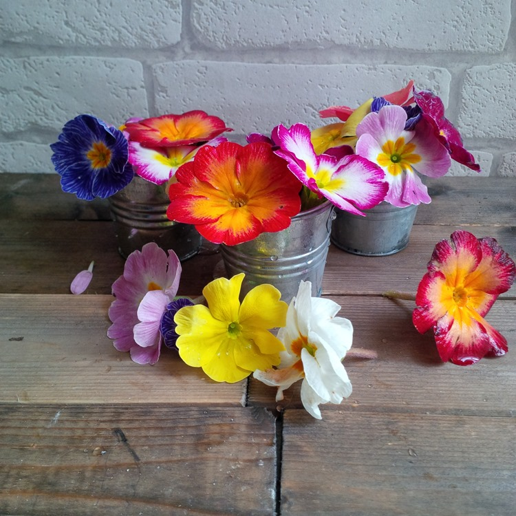 Primrose blooms and mini buckets
