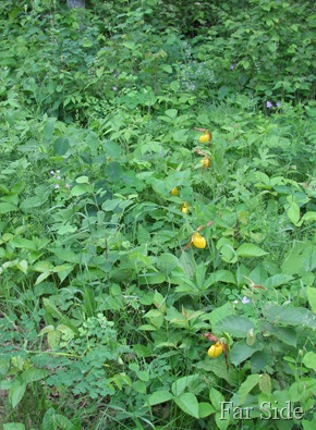 Seven Yellow Lady Slippers