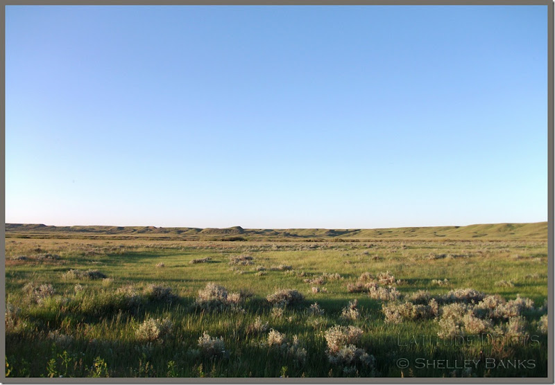 Grasslands - with sagebrush. Grasslands National Park - photo by Shelley Banks