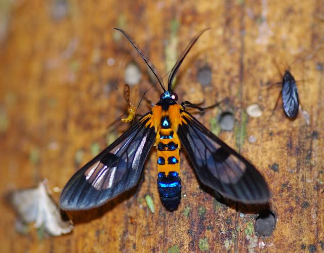Arctiinae : Euchromiini : Cosmosoma sp. Los Cedros, 1400 m, Montagnes de Toisan, Cordillère de La Plata (Imbabura, Équateur), 18 novembre 2013. Photo : J.-M. Gayman