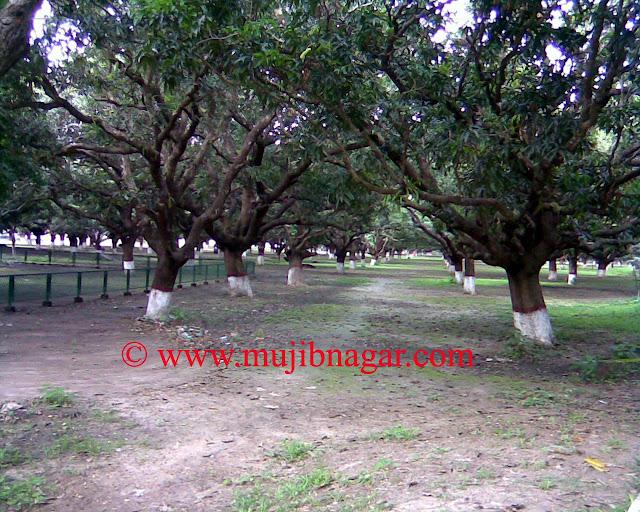 Mujibnagar-Mango-Grove.jpg