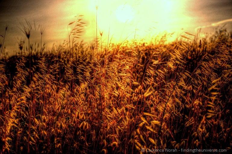 Grass stalks sunset field light