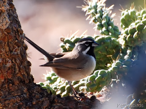 Sycamore Canyon Black-throated sparrow 11-13-2008