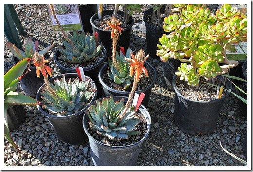 120414_RBG_sale_table_Aloe-pratensis Sedum-dendroideum