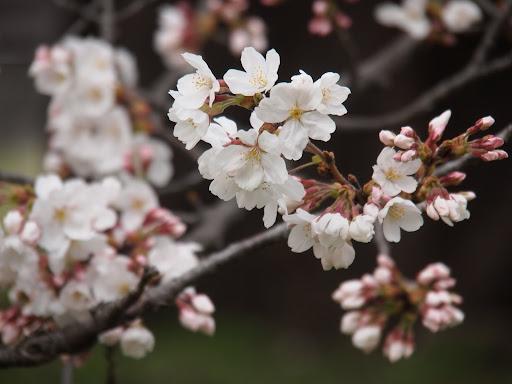[写真]相模女子大の桜(アップ)