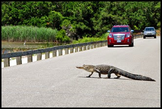 03a8d2 - Causeway- Gator crossing -They'll just have to wait