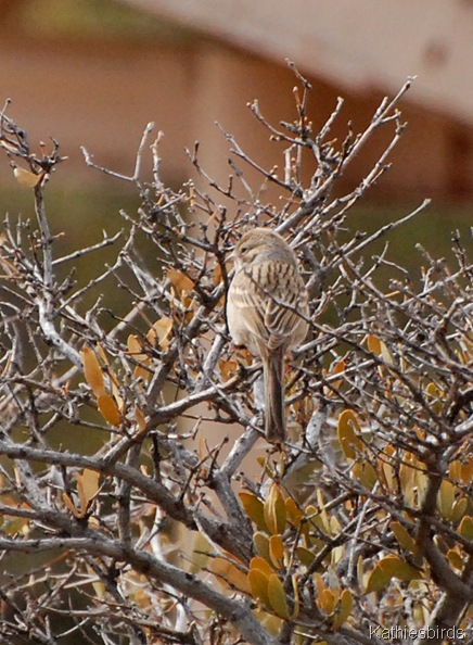 9. brewer sparrow-kab