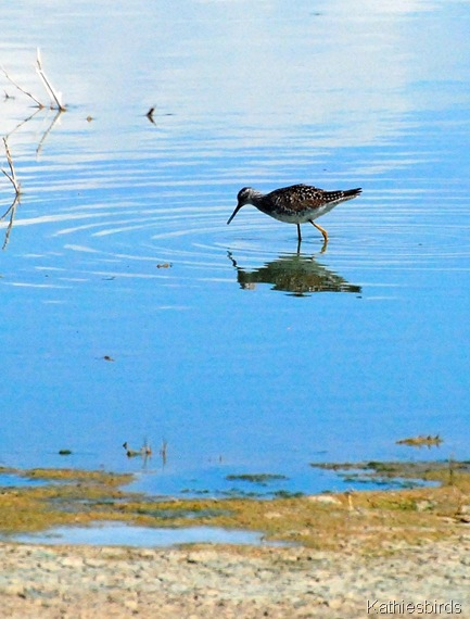 7. yellowlegs-kab