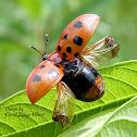 Argus Tortoise Beetle