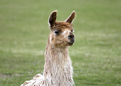 Llama Exotic Game Farm Spring2
