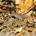 Western Whiptail