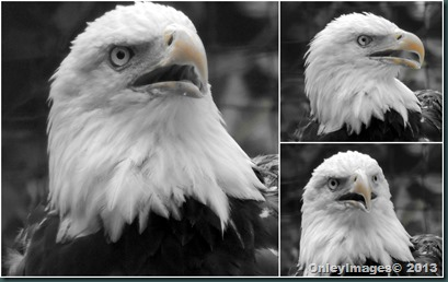 eagle collage2