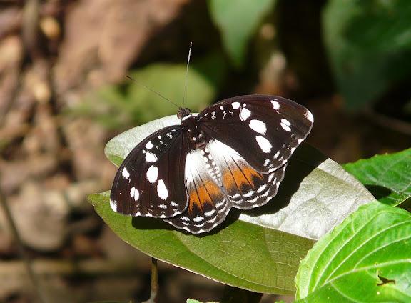 Aterica galene BROWN, 1776, femelle. Atewa Hills (Ghana), 27 décembre 2009. Photo : J. F. Christensen