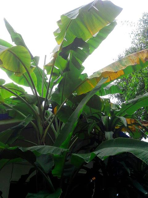 Банановое дерево Таиланд