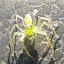 Epeus Spider