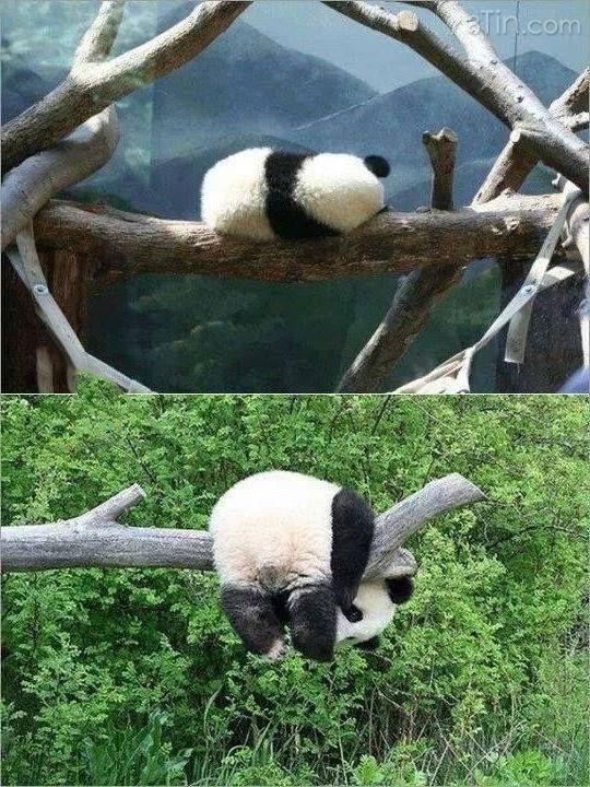 Khi panda thất tình