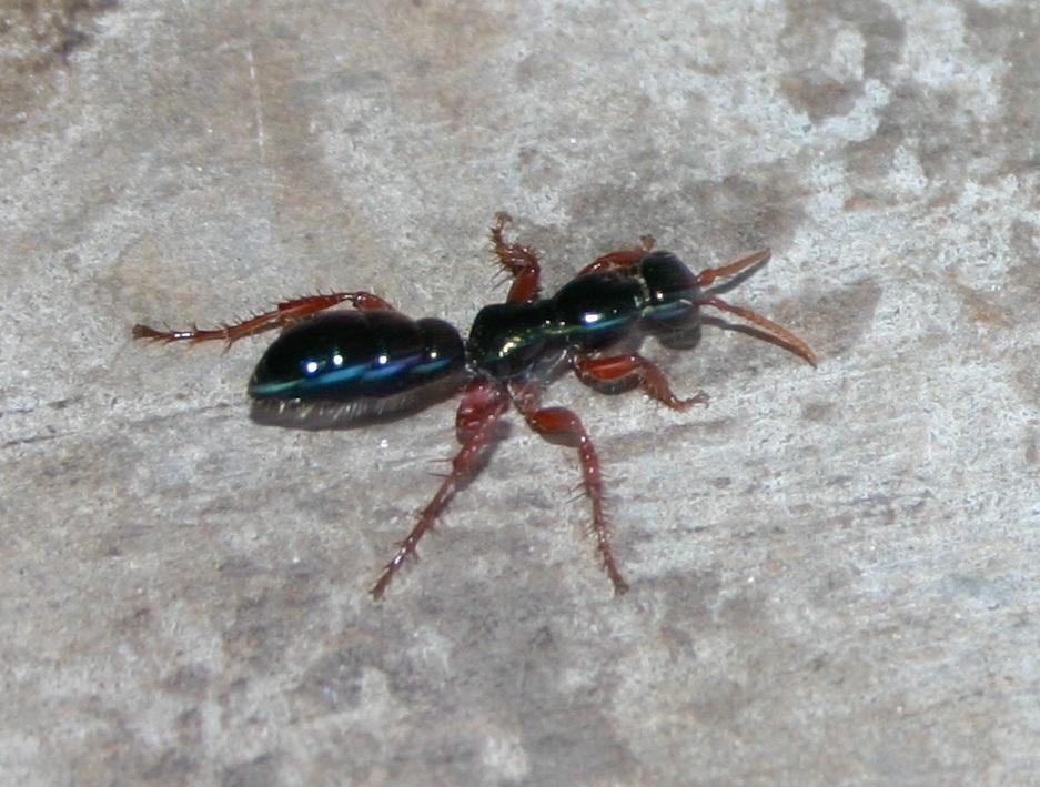 Bluebottle, aka Blue 'ant' wasp Diamma bicolor