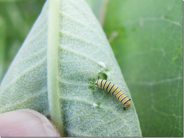 Monarch Larva on Common Milkweed - Photo by Adrienne Zwart