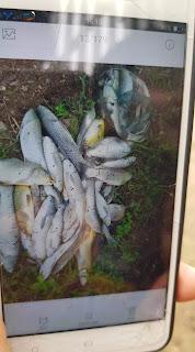 Cá chết trắng bụng sau khi bị dầu đen loang vào dòng nước. Ảnh chụp màn hình điện thoại của người dân.
