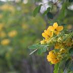 没有了黄花树(青龙木),不过还有黄花。。