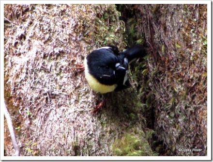 Cheeky little Tomtit in the forest.